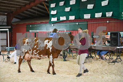 A cow is tugged along in the showing arena.(Robert Layman / Staff Photo)