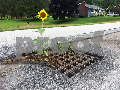 A sunflower grows through a storm grate on West Proctor Road in Proctor. (Gordon Dritschillo / Staff Photo)