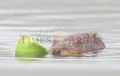 A beaver swims with a mouthful of lily pads Wednesday on the Kingsbury Branch of the Winooski River in Calais. Jeb Wallace-Brodeur / Staff Photo