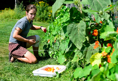 Anna Church, of Waitsfield, picks edible nasturtiam flowers Friday while working in the American Flatbread gardens in Waitsfield. The restaurant grows many of their own vegetables on their property. (Jeb Wallace-Brodeur / Staff Photo)