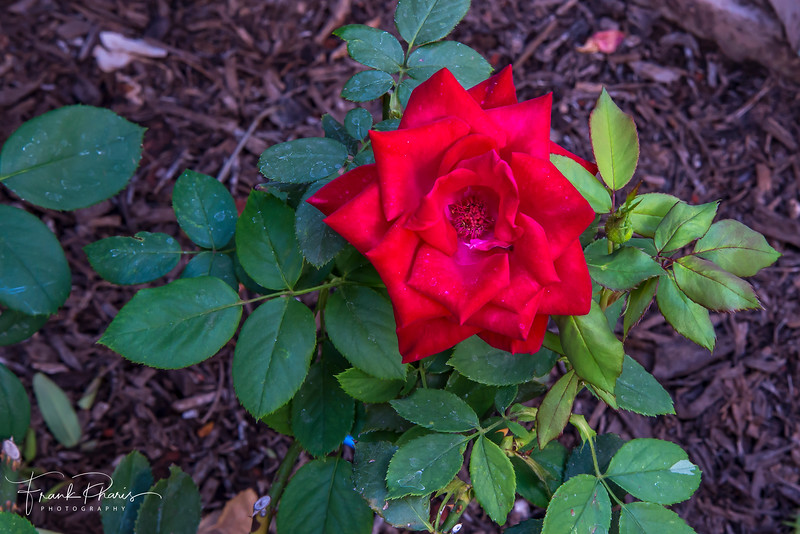 August 17, 2019 -- Red Rose