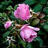 December 5, 2019 -- Pink Roses