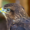 June 15, 2019 -- Harris Hawk