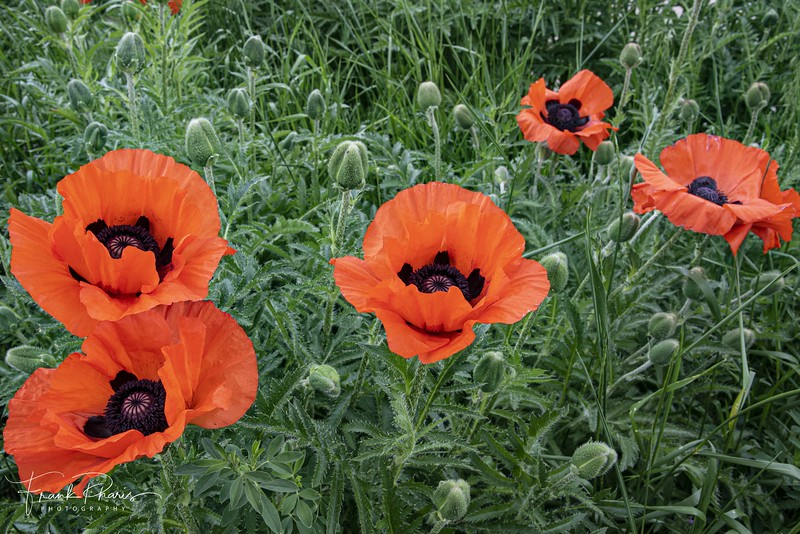 June 12, 2019 -- Poppies
