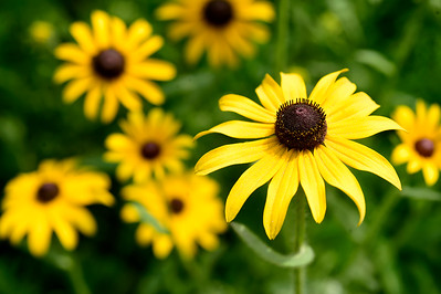 Black-eyed Susans bloom in a Calais field Wednesday. The wild flower, which is also cultivated, is a member of the sunflower family.