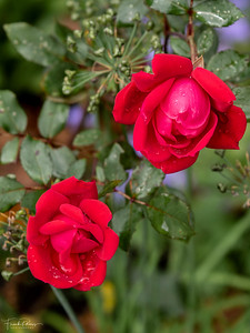 January 28, 2020 -- Roses at The Mount