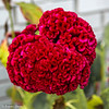 July 3, 2020 -- Friday's Flower --  Red Coxcomb