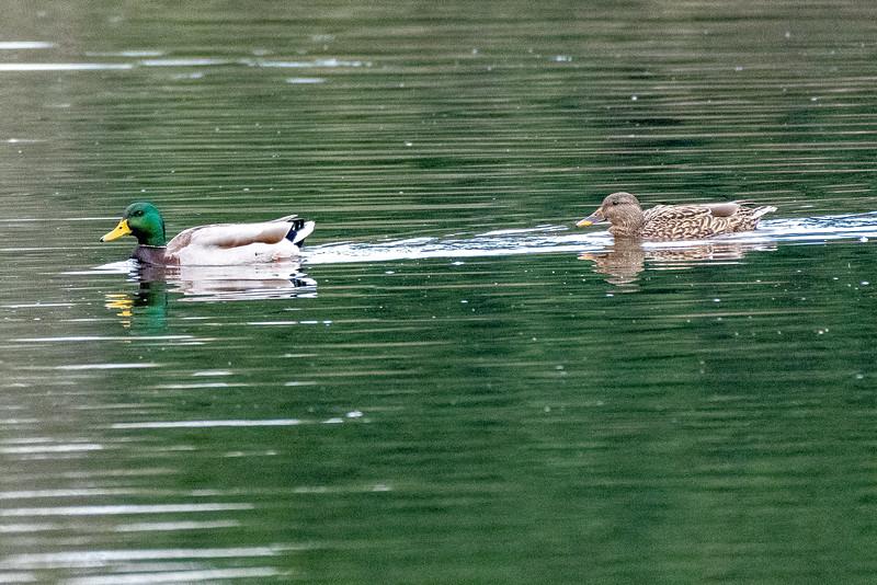 Ducks on patrol