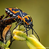 """""""H"""" is for Harlequin bug (Murgantia histrionica),<br /> for Donna's Alphabet Challenge...<br /> <br /> The harlequin cabbage bug (Murgantia histrionica), also known as calico bug, fire bug or harlequin bug, is a black stinkbug of the family Pentatomidae, brilliantly marked with red, orange and yellow. It is destructive to cabbage and related plants in tropical America as well as throughout most of North America, especially the warmer parts of the United States. In addition to cabbage it can be a major pest to crops such as broccoli, radishes and the ornamental flower cleome. <a href=""""http://en.wikipedia.org/wiki/Harlequin_cabbage_bug"""">http://en.wikipedia.org/wiki/Harlequin_cabbage_bug</a><br /> <br /> Bolsa Chica Wetlands<br /> Huntington Beach, CA<br /> <br /> Thanks for taking time to comment, much appreciated!<br /> <br /> Critiques welcome...<br /> <br /> You will keep in perfect peace all who trust in you, all whose thoughts are fixed on you! Isaiah 26:3 NLT <a href=""""http://www.biblegateway.com"""">http://www.biblegateway.com</a><br /> <br /> 1 September 2013"""