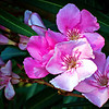 """""""P"""" is for Pink Oleander,<br /> for Donna's Alphabet Challenge...and Breast Cancer Awareness Month...<br /> <br /> Nerium oleander /ˈnɪəriəm ˈoʊliː.ændər/[2] is an evergreen shrub or small tree in the dogbane family Apocynaceae, toxic in all its parts. It is the only species currently classified in the genus Nerium. It is most commonly known as oleander, from its superficial resemblance to the unrelated olive Olea. <a href=""""http://en.wikipedia.org/wiki/Nerium"""">http://en.wikipedia.org/wiki/Nerium</a><br /> <br /> Thanks for your comments on my sunflower post yesterday!<br /> <br /> Critiques welcome...<br /> <br /> Don't brag about tomorrow, since you don't know what the day will bring. Proverbs 27:1 NLT <a href=""""http://www.biblegateway.com"""">http://www.biblegateway.com</a><br /> <br /> 27 October 2013"""