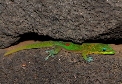August 14  Kona coastline gecko