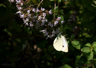 8/27  Cabbage White Butterfly.