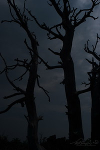 8/2  Dead Trees in Craters of the Moon