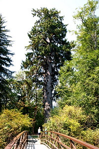 8/6    World's Largest Spruce Tree