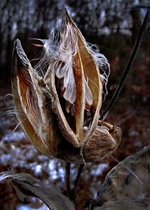12/23   Milkweed Seeds Still in the Pod