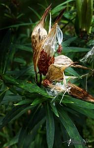 9/10   Butterfly Milkweed Seeds