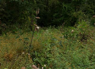 9/27   Field of Milkweed Pods