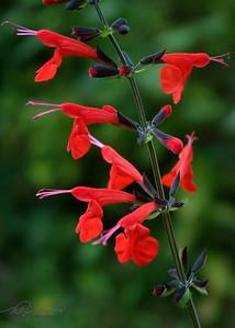 9/15   Scarlet Sage