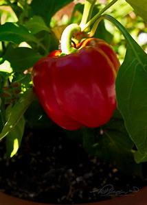 9/24  Red Bell Pepper