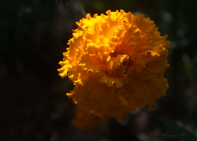 9/14   Marigold With In-camera Orton Effect
