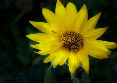 9/23   Wild Growing Sunflower