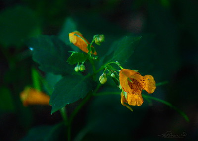 9/11   Spotted Jewel Weed