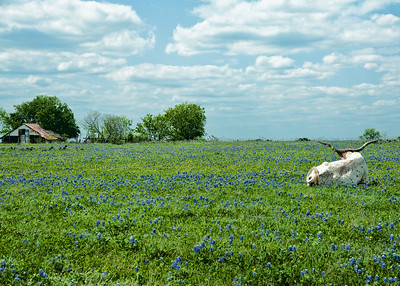 "June 22, 2013  ""Hum....."" says the Longhorn, ""That barn full of hay is a long walk away from where I'm laying, and.....it's hot today.  So,I think I'll just stay right here and enjoy these Texas bluebonnets and that glorious, clear blue sky for now.""  Or so it seems that he is saying..........  I liked this shot because it does seem to convey a sense of indecision or longing.  Not sure which, but I thought it was a fun shot nevertheless.  Thanks to everyone for all the wonderful comments this week and the warm welcome back after my absence.  Have a satisfying Saturday!  Linda  PS, late add - Response from several questions:  from what I know, cows generally do not eat bluebonnets, but horses will.  That's at least what I've observed, there could be other opinions out there.  Thanks for your comments today.  Smugmuggers Rock!!!!!!!!!!!!"