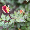 Rainy Day Rose Bud