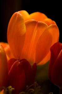November 27, 2008 (2 of 2) Blair's Beautiful Tulips.