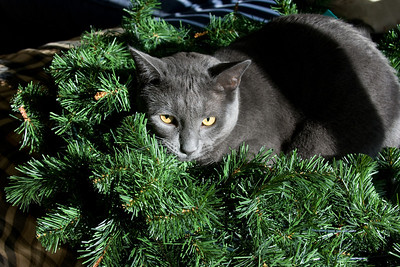 November 28, 2008 I put out some Christmas decorations today.  Dynamo helped...
