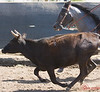 Neck and neck<br /> <br /> (Aug. 14, 2009) I had a photoshoot of this stallion (Larry) today. Here the action came a little too close for the lens, but it's a fun shot anyway.