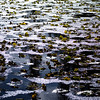 "October 24, 2009 - ""End Of Season""<br /> <br /> This thawing ice covered lake was shot near the Continental Divide in Yellowstone.  It looks like the end of these lily pads for this year."