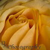"12-16-2011<br /> ""Yellow and Soft""<br /> <br /> I love roses and this one is especially a pretty one.  Enjoy<br /> Donna"