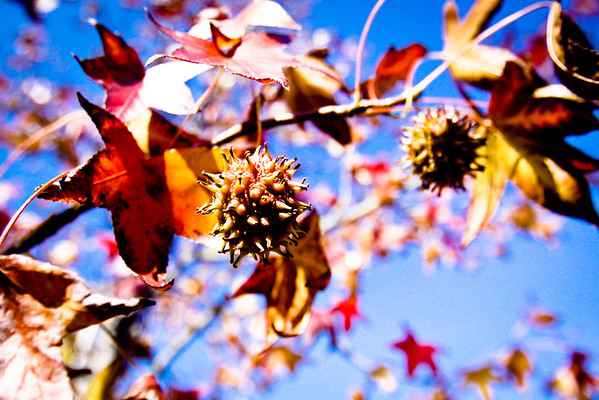 "November 8, 2011 - Seed pods from a sweet gum tree.  Also known as ""Monkey Balls."""