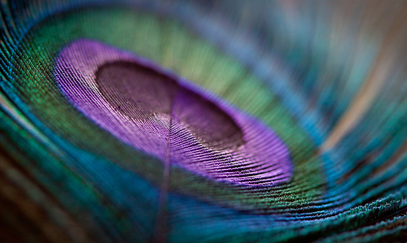 November 28, 2011 - I got a hold of a peacock feather! I needed some new macro subject matter.  A few more shots can be found here: http://smu.gs/rOvVnJ