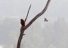 Mocked<br /> <br /> (June 14, 2013) A mockingbird does what it does best: mock a hawk.