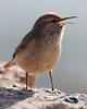 Ode to Spring<br /> <br /> (March 30, 2013) This rock wren was ready to celebrate for Easter.