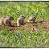"April 26, 2013 - ""Inquisitive""<br /> <br /> These young prairie dogs were checking things out yesterday at the Ft. Worth Nature Center."