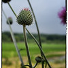 "May 18, 2013 - ""Thistle With A View""<br /> <br /> - as photographed yesterday on Quail Creek Trail in Southlake"