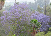 Purple!<br /> <br /> (May 24, 2013) All the jacarandas are in bloom right now.