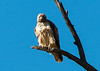 Spotted<br /> <br /> (March 2, 2013) I was not particularly stealthy and this Red Tail Hawk suspected my motives.