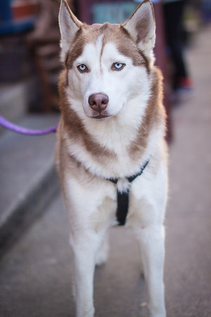 December 7, 2013 - I ran into this beautiful husky in downtown Lambertville.
