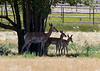 (June 26, 2014) One more antelope shot, down on the savannas of the American Ranch.