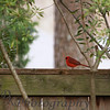 "12-26-2010<br /> ""Red Bird""<br /> <br /> Believe it or not, we had snow flurries in central Mississippi today.  I tried taking photos of the snow coming down but you couldn't see it.  Actually it was coming down on this shot.  When we saw the snow falling Sutton, Hughes, (grandchildren spent the night) John and I ran out.  There were more red birds in the yard than I have ever seen.  Of course we were in our PJ's and robes.  I ran back inside and got the camera but guess what.....no birds.  Well I stood in the cold wind and waited.  I got this shot, even though not the best and no snow, but this bird was eating something on the fence.  He looked well fed for the winter.  <br /> <br /> I didn't take a lot of photos of opening presents because I am the one passing out the gifts.  Oh well, Christmas was still wonderful and we are so blessed.  <br /> <br /> Have a great week!<br /> Donna"
