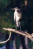 Morning Sun<br /> <br /> (August 20, 2015) Great Blue Heron at Fairmount Park