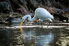 Gotchya!<br /> <br /> (December 14, 2016) Egret fishing this afternoon