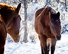 Old Boys Club<br /> <br /> (December 26, 2016) My mom's horses, Hank & Rowdy, on Boxing Day, looking for a little sun to warm themselves.