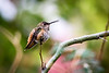 Morning Perch<br /> <br /> (May 30, 2016) Allen's Hummingbird . . . ?