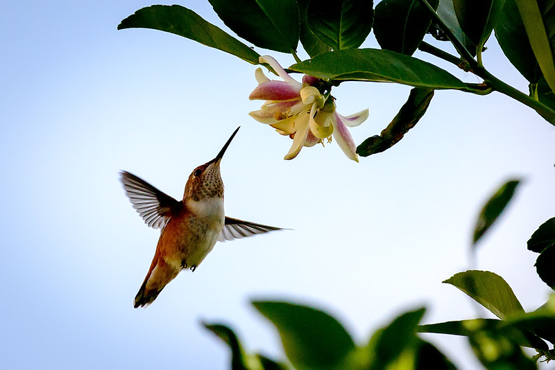 Last drop<br /> <br /> (May 24, 2016) The last of the citrus blossoms has the hummingbirds feeling very territorial.