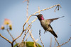 Mad Flight<br /> <br /> (June 25, 2015) It was war among the hummingbirds this morning.